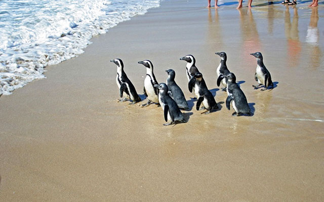 Pingviner i Cape St. Francis under longstay sydafrika | Sunbirdie