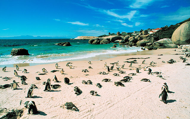 Söta pingviner i Stellenbosch under longstay sydafrika | Sunbirdie
