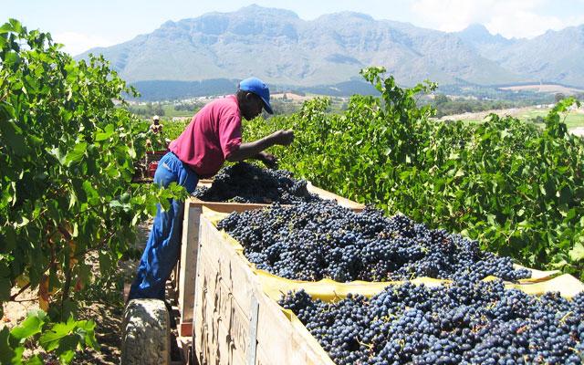 Se vindruvor för vin under longstay sydafrika | Sunbirdie